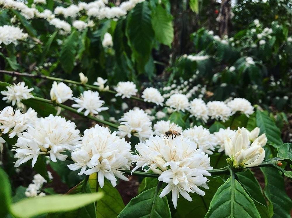 hoa cà phê nở