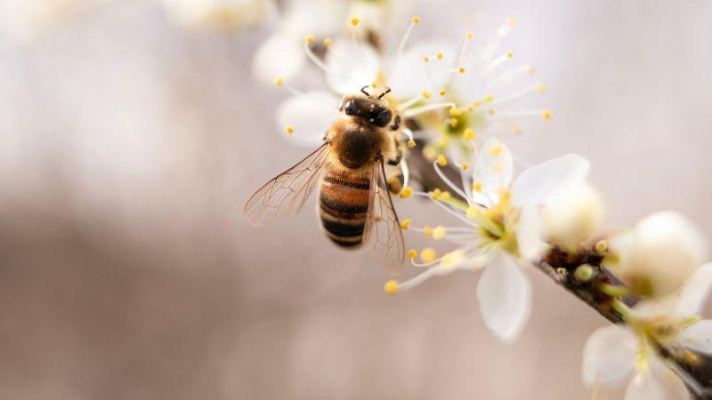 Những chú ong cần cù đi lấy mật hoa