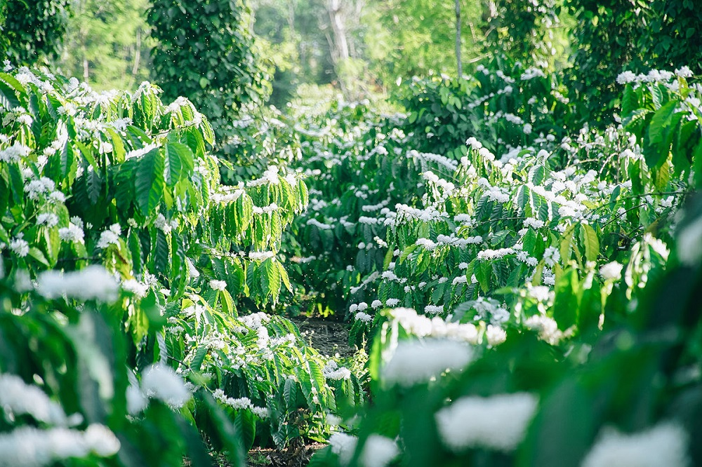 mùa hoa cà phê