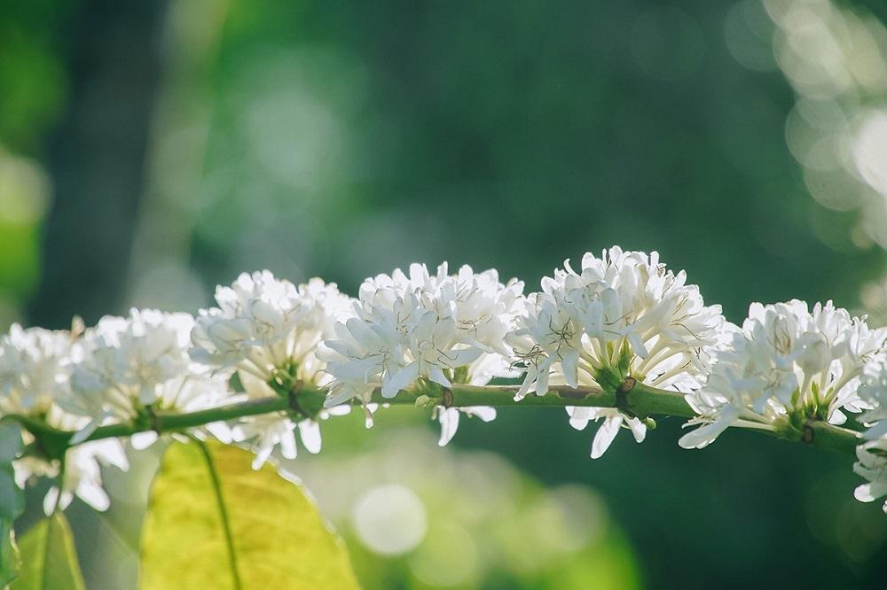 mùa hoa cà phê đầu mùa