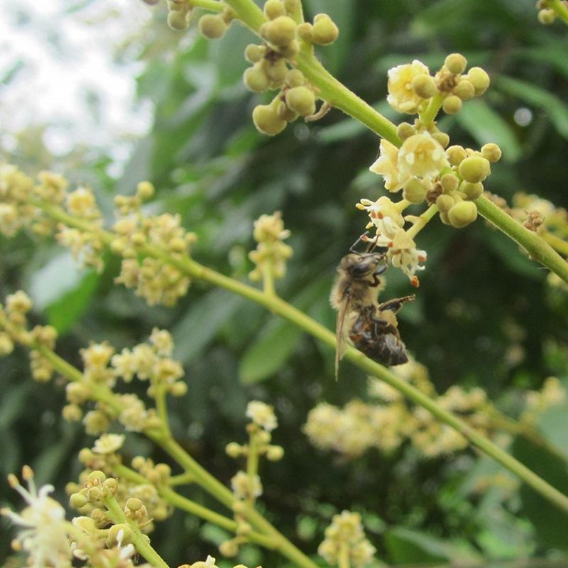 Các loại mật ong hoa nhãn