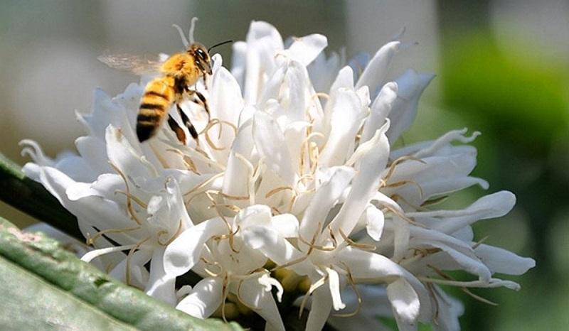 Các loại mật ong hoa cà phê