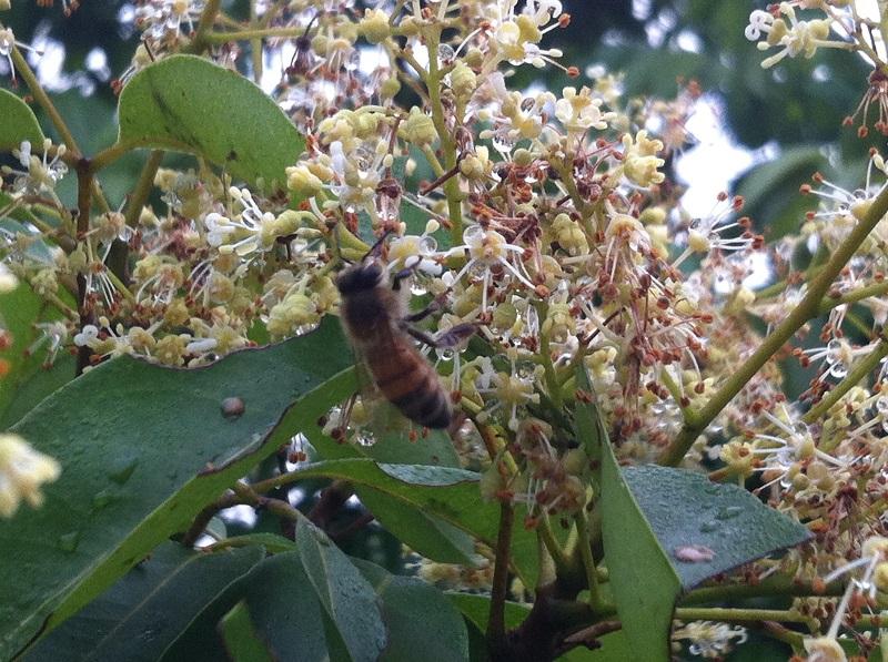 Các loại mật ong hoa vải