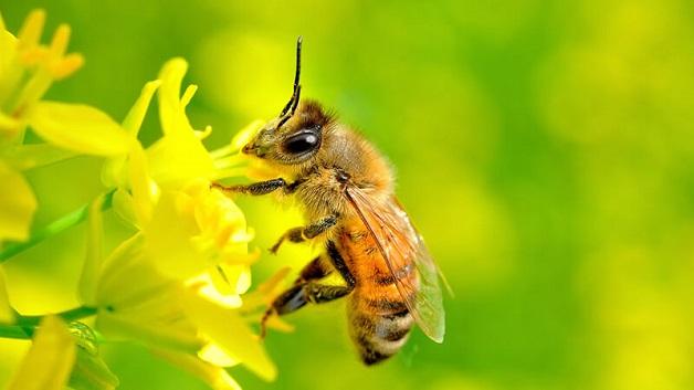 Các loại ong mật phổ biến trên thế giới