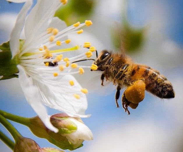 Các loại ong mật phổ biến tại việt nam