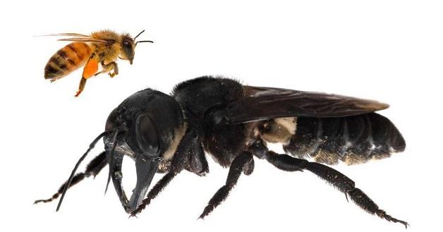 Các loại ong mật