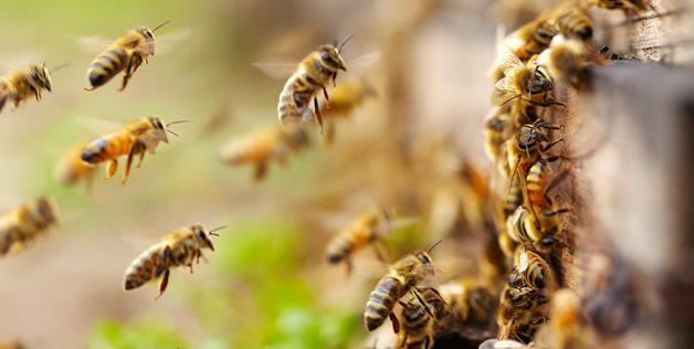 Các loại ong mật phổ biến tai Vietj nam và trên thế giới