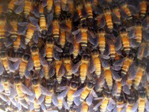 mật ong khoái và mật ong ruồi