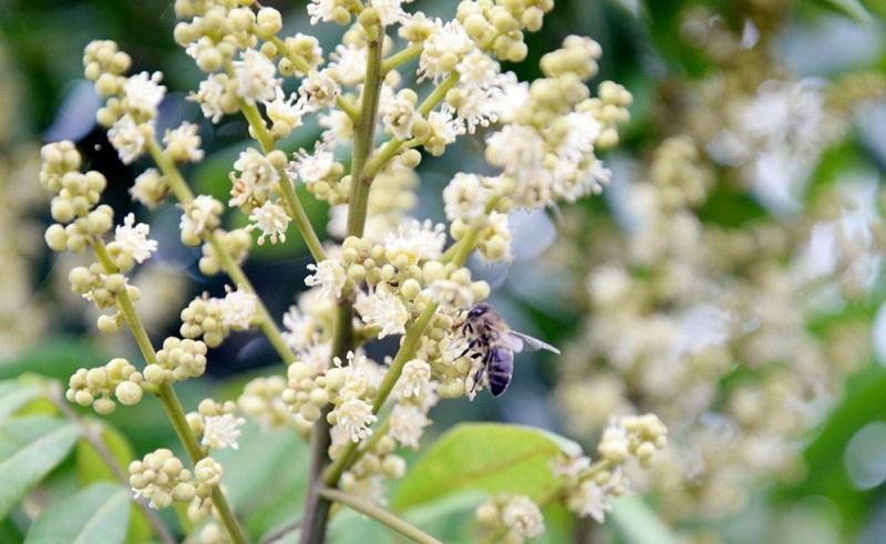 mùa mật ong hoa nhãn hưng yên