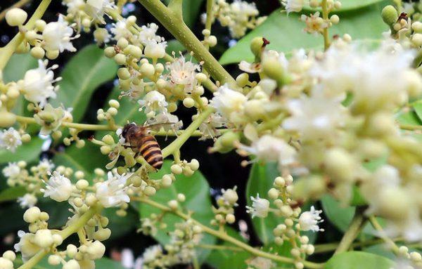 mật ong hoa nhãn nguyên chất bao nhiêu 1 lít