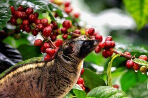 cà phê chồn của vùng cao nguyên đất đỏ