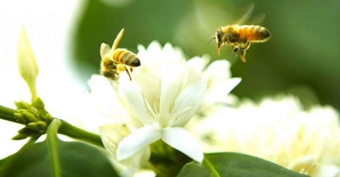 mật ong hoa cà phê vùng cao nguyên đất đỏ