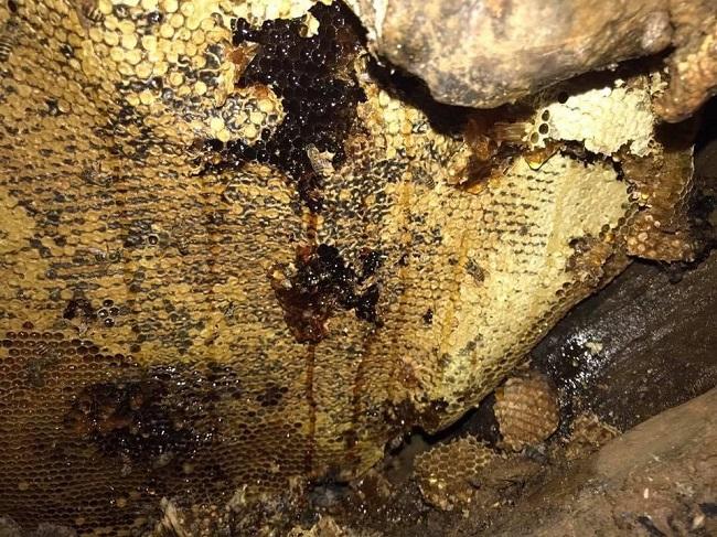 thu hoạch mật ong đắng