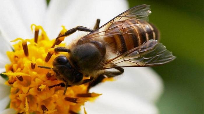 ong ruồi